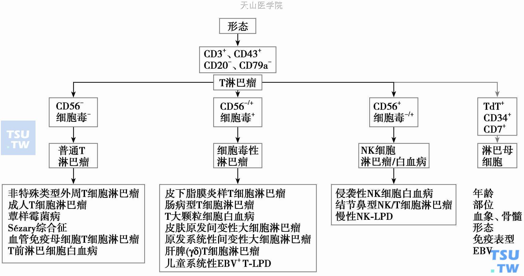 图】T淋巴细胞分化过程及相关淋巴瘤- 血液病学- 天山医学院