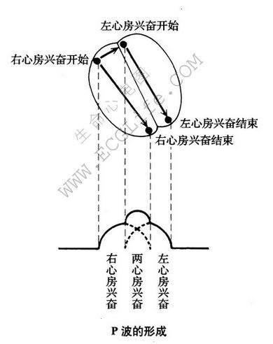 心电图P波的形成