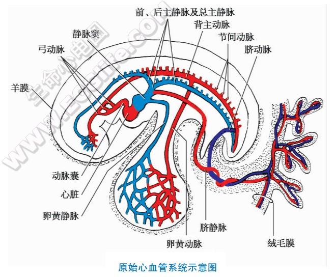 原始心脏早期血管的发生形成到心血管系统的建立