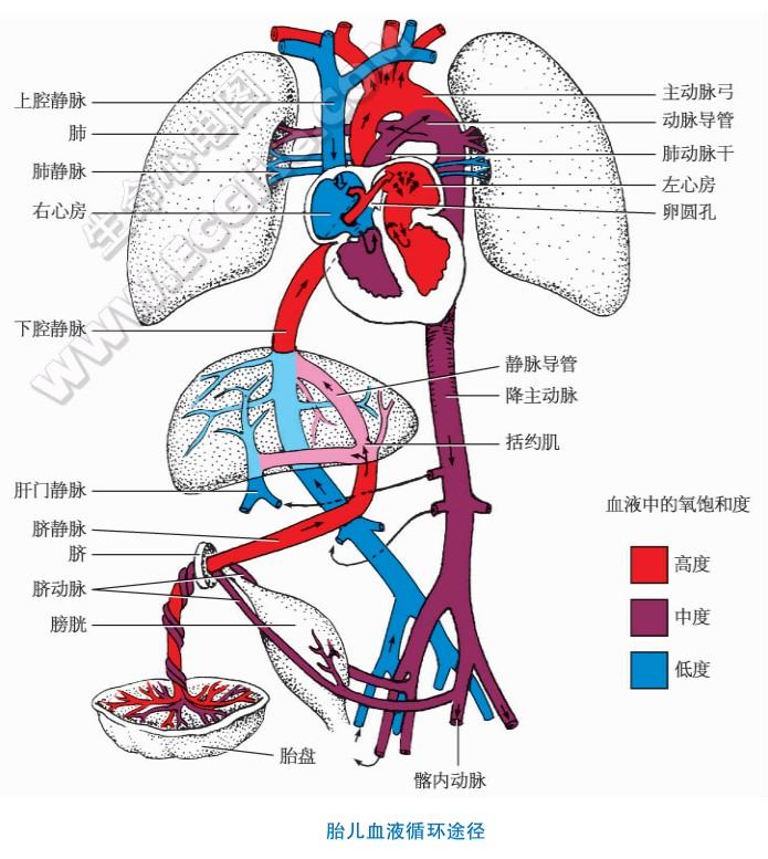 胎儿血液循环特点和出生后的变化