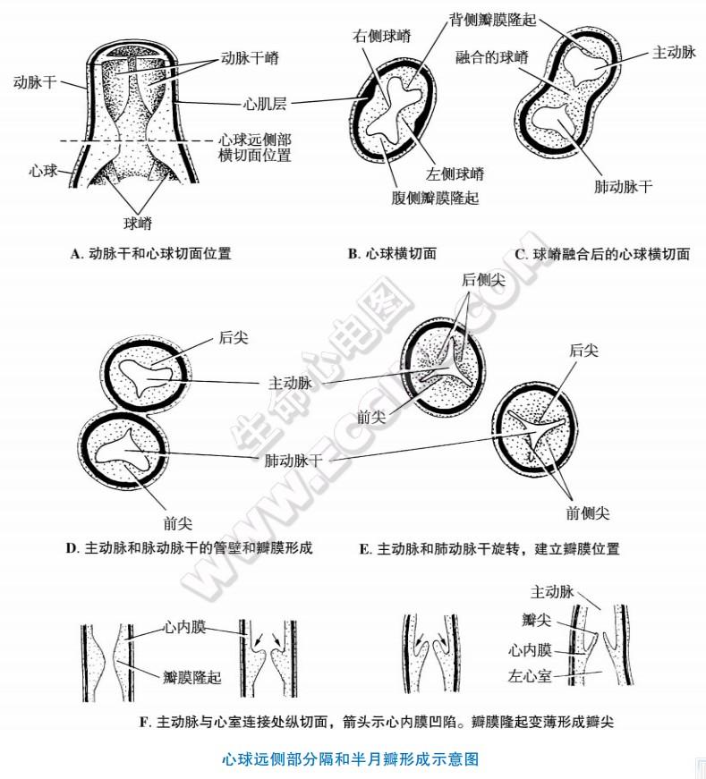 心脏心纤维支架的发生和心瓣膜的形成过程