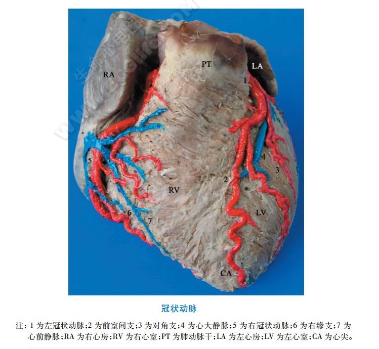 左冠状动脉结构分布