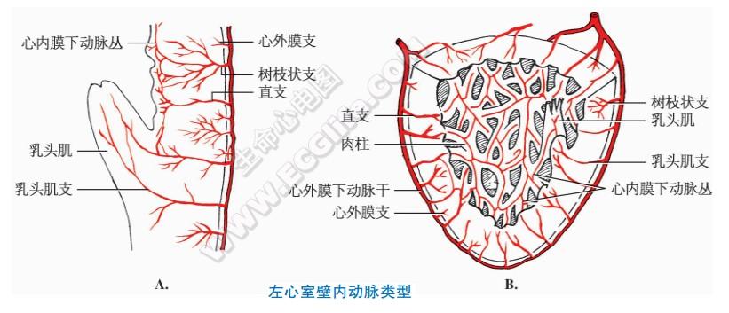 心室壁内动脉分布特点
