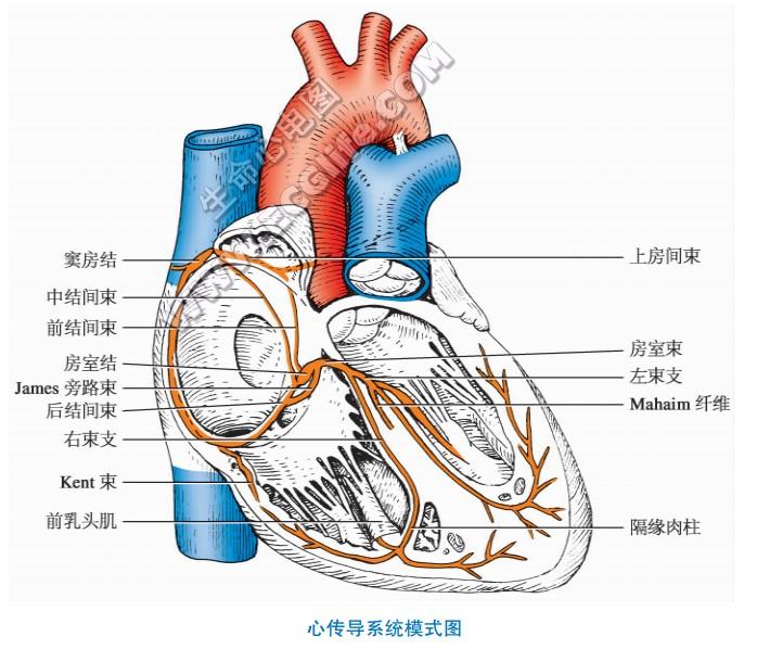 详解心传导系统:窦房结、结间束、房室结、房室束