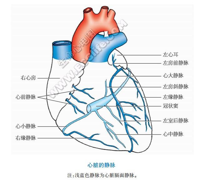 心脏静脉的结构组成与分布