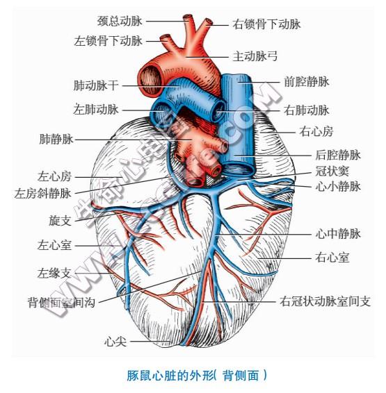 豚鼠的心脏形状、结构