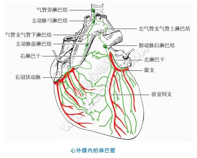 淋巴引流:心壁内的淋巴管、心脏的淋巴流向
