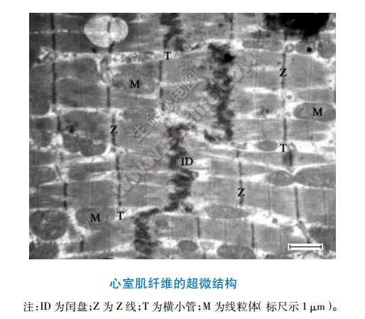 心室肌纤维的超微结构示意图