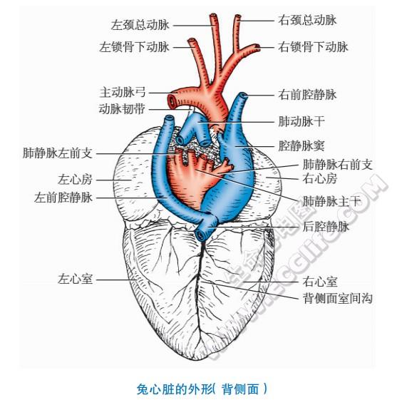 兔子的心脏形状、结构