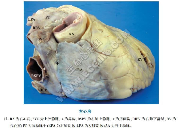 右心房:外形与结构