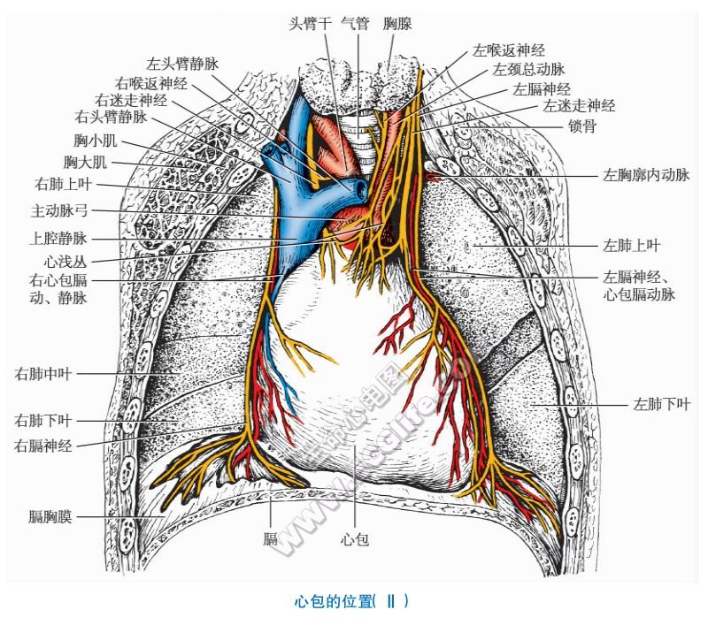 心包:分部和心包腔解剖图解