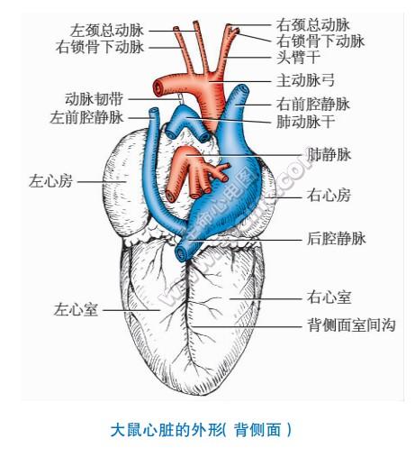 大鼠的心脏形状、结构