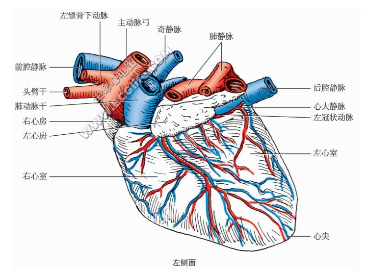 狗的心脏形状、结构