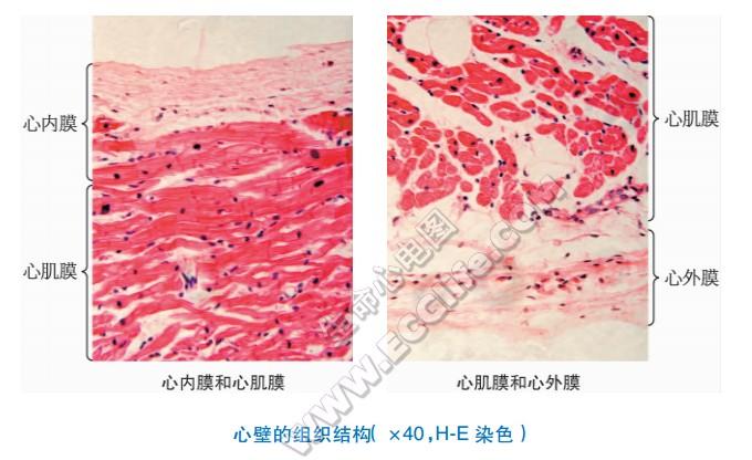 心脏心壁:心内膜、心肌层、心外膜结构