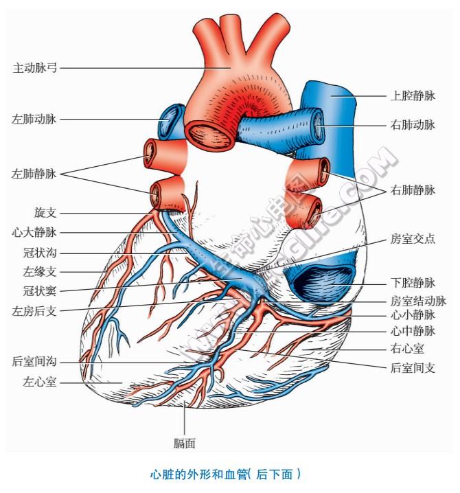 心脏的外形和血管(后下面)