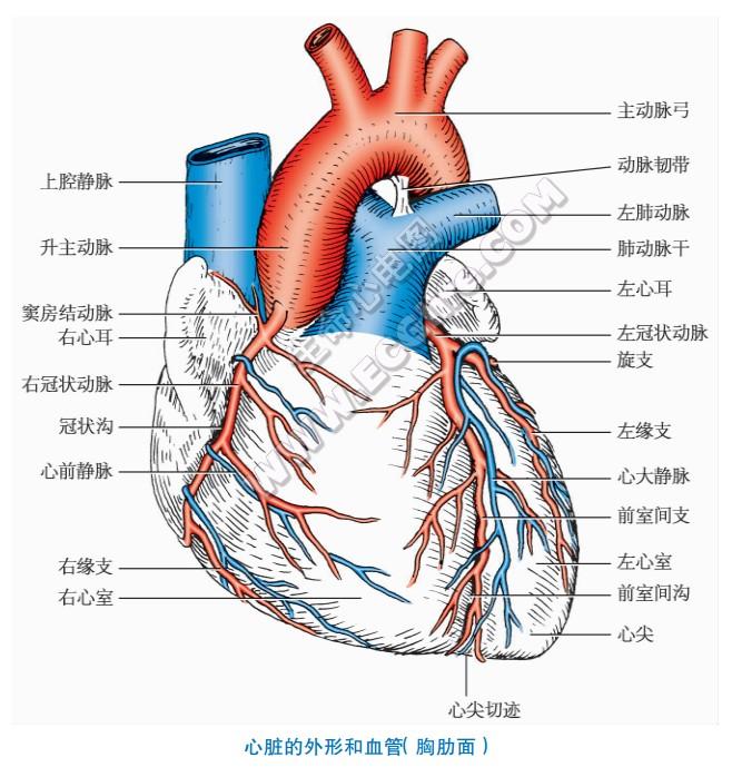 心脏的外形和血管(胸肋面)