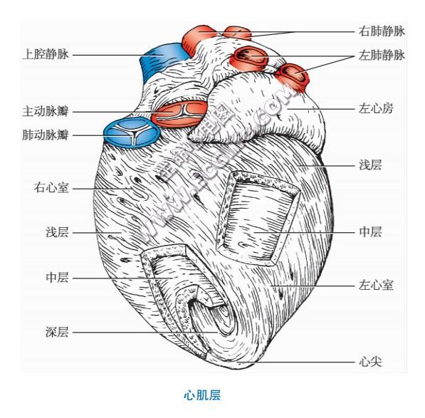 心肌层结构示意图