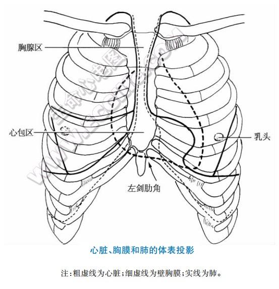心脏、胸膜和肺的体表投影