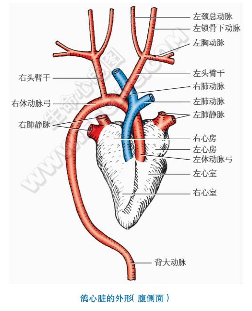 鸽子的心脏形状、结构