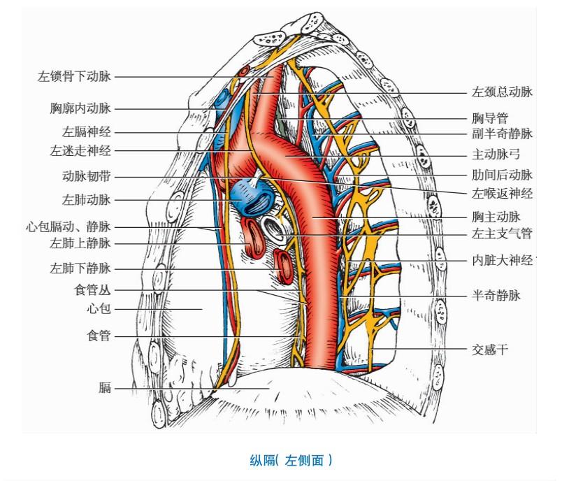 纵隔器官与结构图文详解