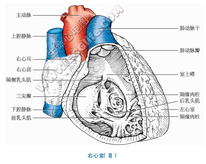 右心室:外形与结构