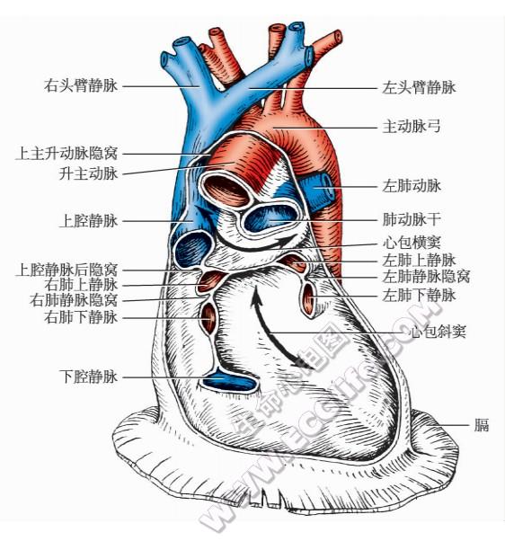 出入心脏的大血管