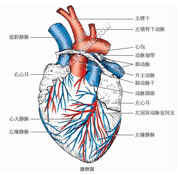 猫的心脏形状、结构