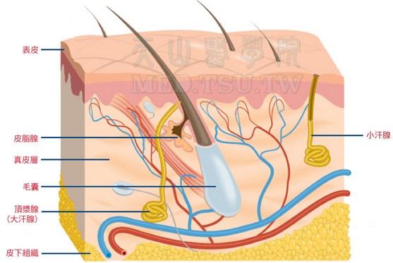 皮肤附属器(毛发、毛囊、汗/皮脂腺等)