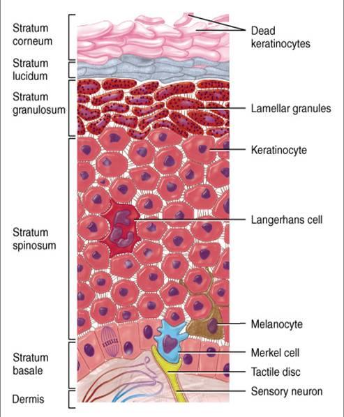 表皮超微结构:人表皮角质形成细胞