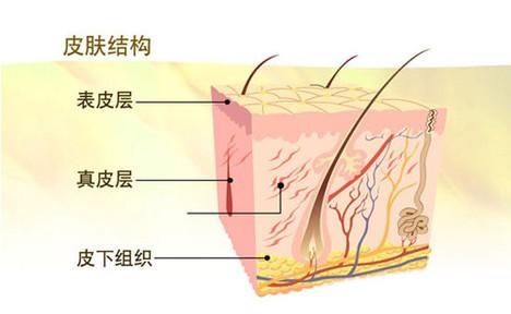 表皮、真皮及其衍生物的演变过程