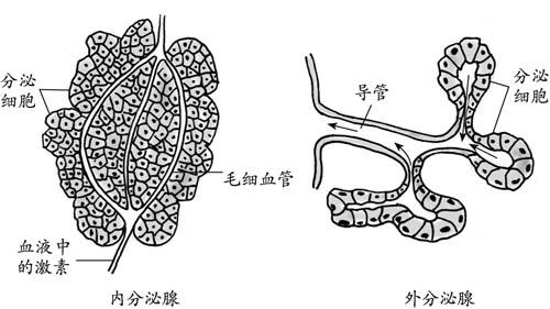 前者遍布所有的动物,最原始的例子就是肠腔动物的黏液腺.